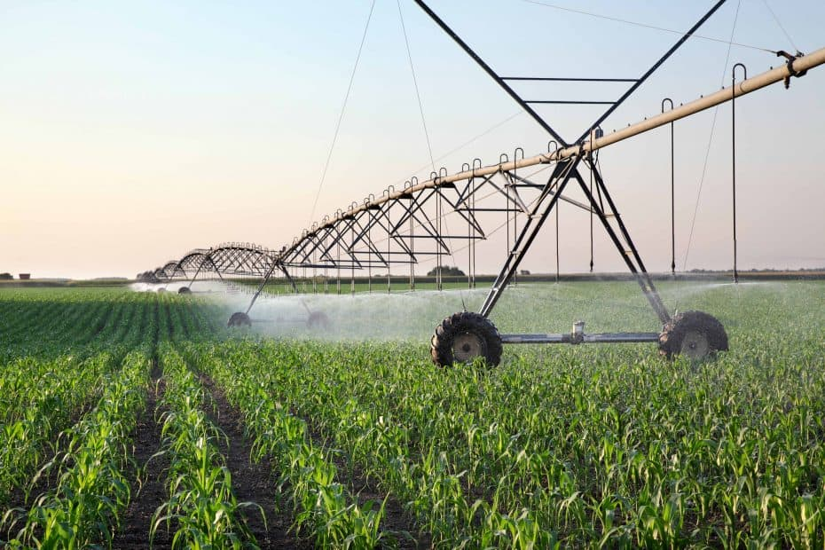 Corn field in spring with irrigation system for water supply, sprinklers sphashing water to plants